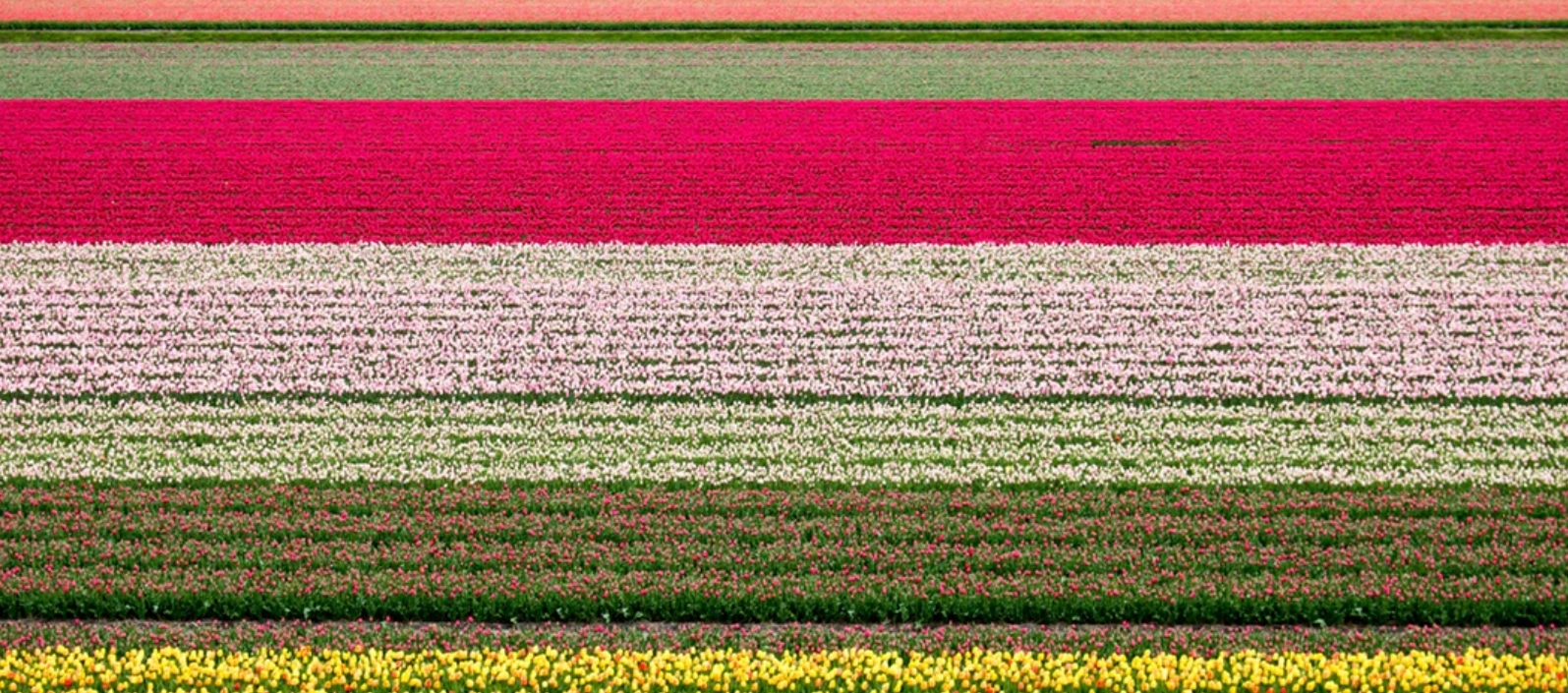 the beautiful dutch tullip fields a new thing to try