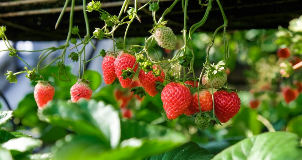 strawberry plants thankful for