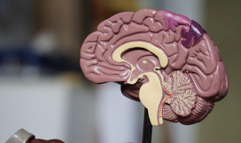 brain model image